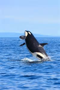 Difference Between Orca and Killer Whale