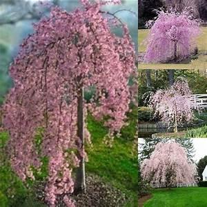 20pc Pink Fountain Weeping Cherry Tree Seeds Garden Dwarf ...  Weeping