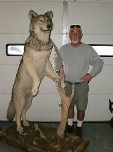 HUGE TAXIDERMY TIMBER WOLF MOUNT EXC. COND. AWESOME No ...