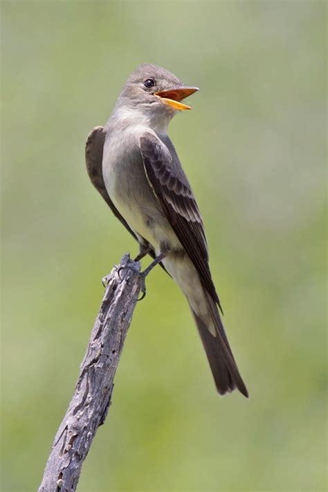 birds  whistle birdnote
