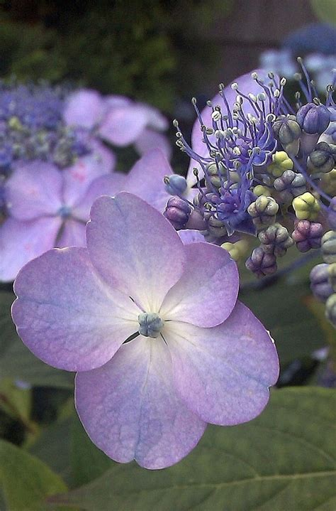 "The ""cape Cod Flower"" Hydrangea Love The Color In These"