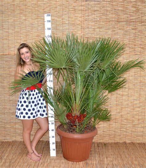 chamaerops humilis pot d 45 cm
