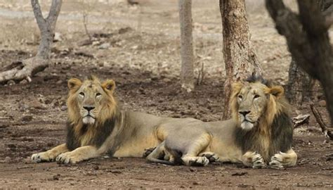 India's Lion Population On The Rise, Over 100 Lionesses