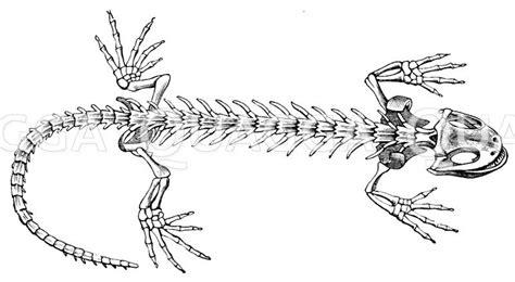feuersalamander skelett