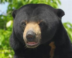 Threats To Bornean Sun Bear Evidence Illegal Poaching In