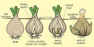 What Is Bulb In Vegetative Propagation