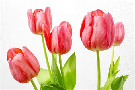 Tulip Flower Image by Tulip Flowers Nature 183 Free Photo On Pixabay