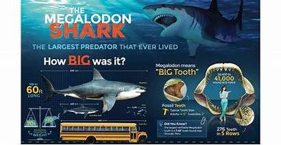 Megalodon Shark Infographic Killer Fossilera Poster Sharks