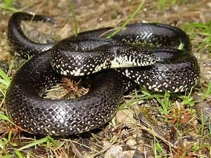 Eastern Black Kingsnake | Amphibians and Reptiles of Louisiana