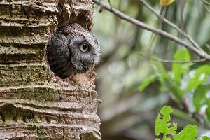 Screech owls keep blind snakes as live-in housekeepers ...