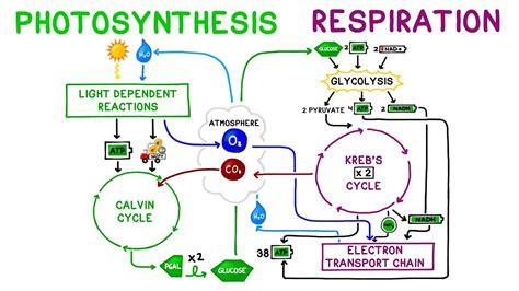 photosynthesis  cellular respiration comparison youtube
