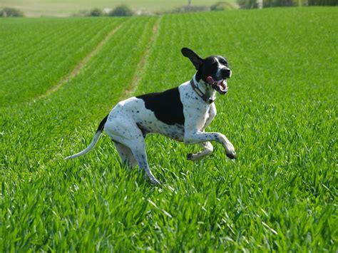 pointer ingles razas perros mascotas