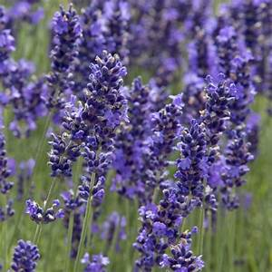 Lavendel Pflanzen Kaufen : lavendel sorten winterhart lavendel winterhart heil und ~ Lizthompson.info Haus und Dekorationen