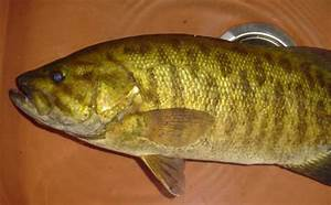 Baby Yellow Perch Fish 80144 | MEDIABIN