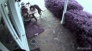 Pitbull Thief - YouTube