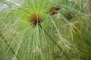 flowers for delivery cyperus papyrus 1l evergreens turn it tropical