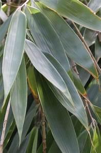Hibiskus Hat Blattläuse Was Tun : bambus gelbe bl tter bambus hat gelbe bl tter ursachen ~ Lizthompson.info Haus und Dekorationen