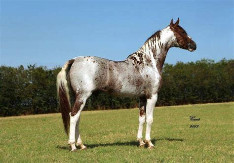 horse pinto horses breeds roan rare coloured paint markings tobiano most colors wild festival coloring stud southern sky stars clydesdale