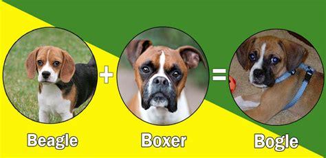 popular boxer dog cross breeds designer breeds