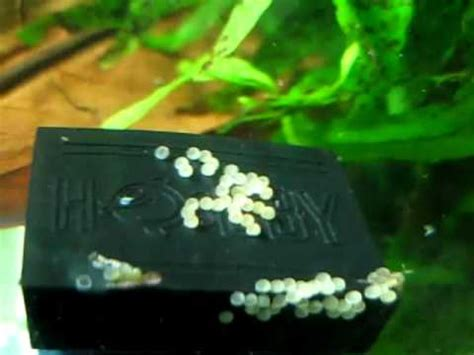 eier der albino panzerwelse eggs  cory catfishes youtube