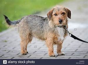 Cute Wire-Haired Terrier Dog on Lead Stock Photo, Royalty ...