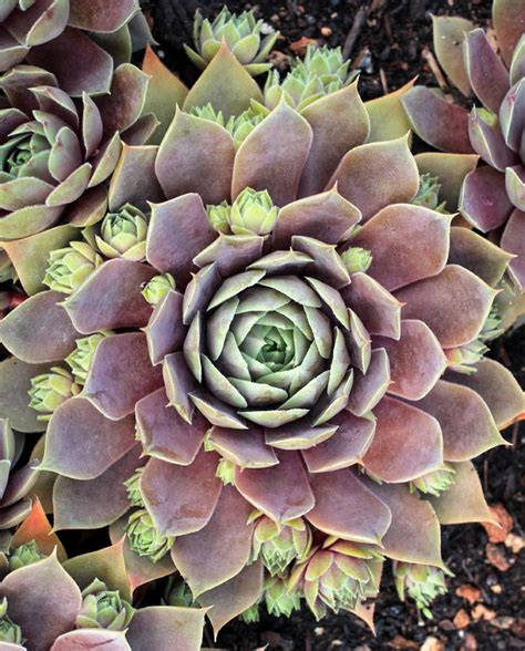where to buy hens and plants sempervivum blush quot hens chicks quot buy online at annie s annuals
