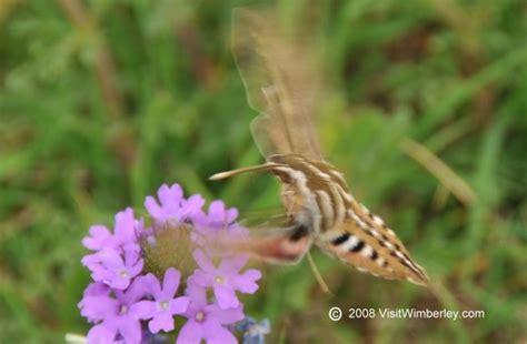 top 28 hummingbird type bug what is a hummingbird moth