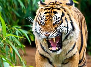 Image Gallery wild tigers