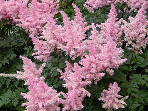 summer flowering perennials for shade perennials for shade that bloom all summer the garden glove