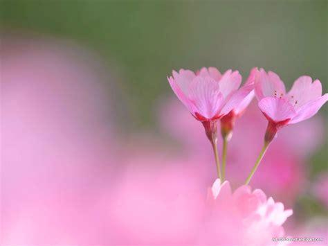 valentine flower background hd  backgrounds