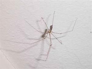 Spinnen Fernhalten Wohnung : d rrer weberknecht erbeutet fette winkelspinne o spinnen ~ Whattoseeinmadrid.com Haus und Dekorationen