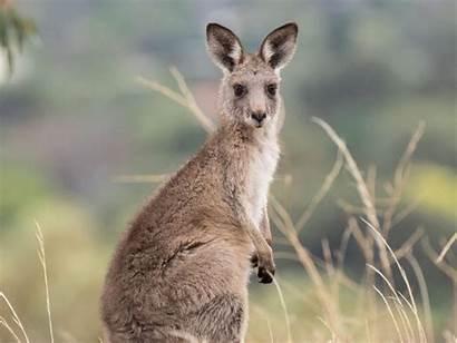 Kangaroo Animals Australia Kangaroos Grey Eastern Australian
