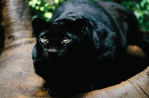 Black Jaguar Habitat by Black Panther Xamobox Relax