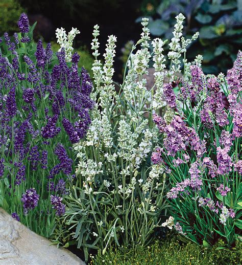 soil type for lavender top 28 soil for lavender plants 17 best images about the garden on pinterest gardens why