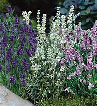 Bonnie Plants Lavender
