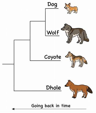 Cladogram Creative Cladograms Canine Species Closely Showing