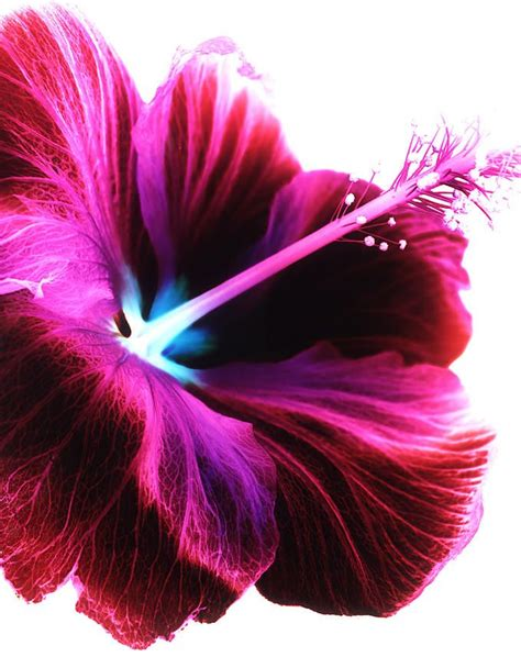 what color is hibiscus best 10 hibiscus ideas on hibiscus flowers