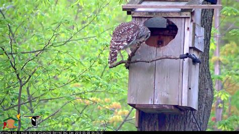 adult barred owl stops  nest box perch  young
