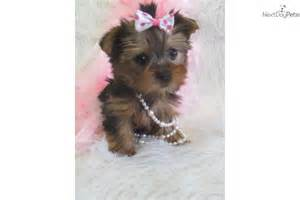 akc reg yorkshire terrier female puppydog yorkshire