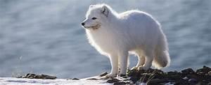 Bébé Loup Blanc : le renard polaire ~ Farleysfitness.com Idées de Décoration