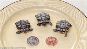 heat ls for baby turtles trio of tortoises arrive seven months early because of