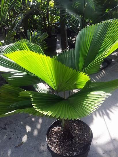Licuala Palm Elegans Tropical Plant Plants Miami