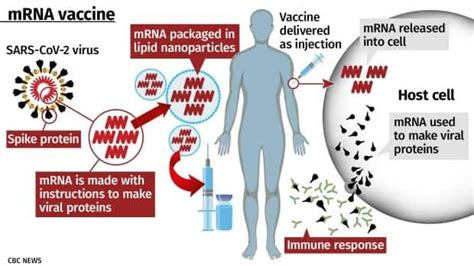 Mrna vaccines, in contrast, trick the body into producing some of the viral proteins itself. Can mRNA vaccines alter your DNA? More of your COVID-19 vaccine questions answered