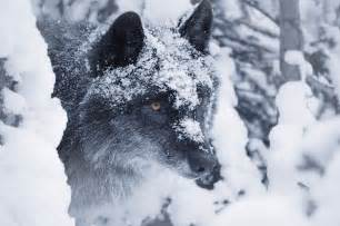Lone Wolf Snow Painting
