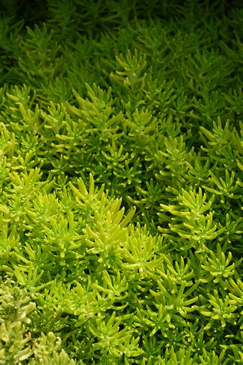 lemon coral stonecrop sedum rupestre lemon coral