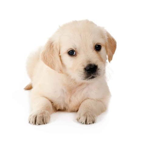 food  golden retriever puppy   goodpuppyfood