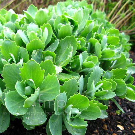 sedum plants a big photo of sedum leaf close up from findmeplants