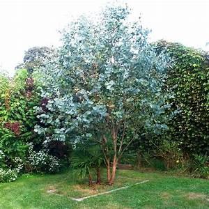 Eucalyptus Plante D Intérieur : eucalyptus gunnii 39 baby blue 39 gommier cidre bleu plantes arbre persistant arbre d ~ Melissatoandfro.com Idées de Décoration