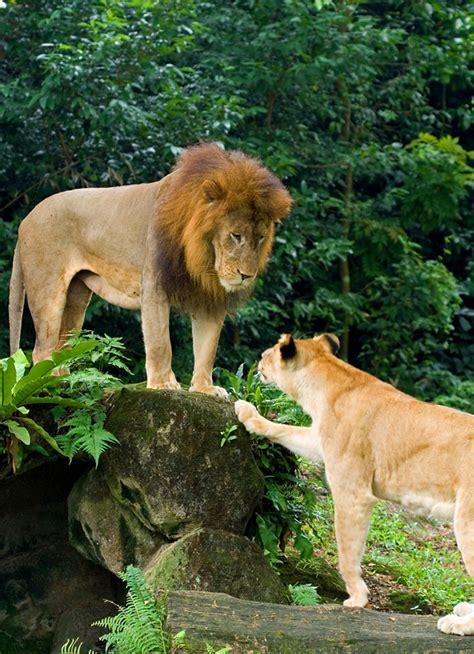 lion mr lions cute female pet male pets mrs zoo singapore cats animals animal deconstructing stubbornly attitudes held baby lioness
