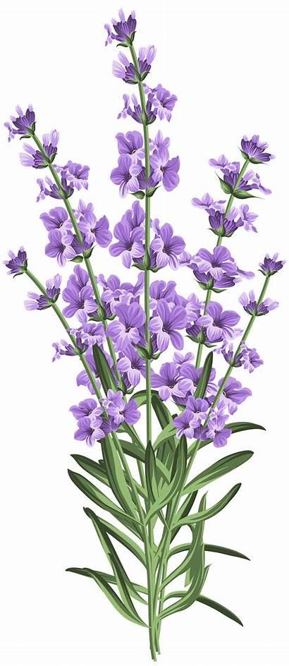 Lavender Clipart Transparent Simple Flower Clip